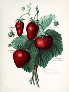Vintage Nature Graphics, Vintage illustration strawberries (Germany, Europe)