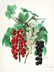 Vintage Nature Graphics, Vintage illustration currant (Germany, Europe)