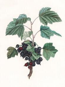 Vintage Nature Graphics, Vintage illustration blueberries 1 (Germany, Europe)