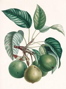 Vintage Nature Graphics, Vintage illustration pears 4 (Germany, Europe)