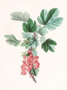 Vintage Nature Graphics, Vintage illustration red currant (Germany, Europe)