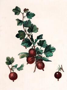 Vintage Nature Graphics, Vintage illustration gooseberries 4 (Germany, Europe)