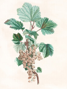 Vintage Nature Graphics, Vintage illustration white currant (Germany, Europe)