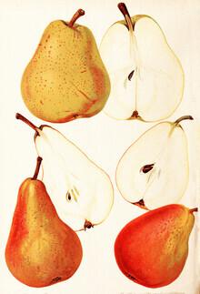 Vintage Nature Graphics, Vintage illustration pears 3 (Germany, Europe)