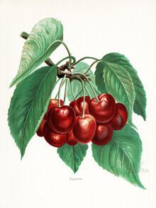 Vintage Nature Graphics, Vintage illustration Cherries 2 (Germany, Europe)