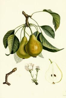 Vintage Nature Graphics, Vintage illustration pears 2 (Germany, Europe)