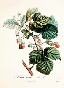Vintage Nature Graphics, Vintage illustration raspberries 4 (Germany, Europe)