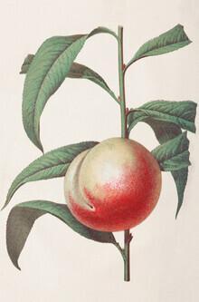 Vintage Nature Graphics, Vintage illustration peach (Germany, Europe)