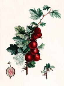 Vintage Nature Graphics, Vintage illustration gooseberries 5 (Germany, Europe)