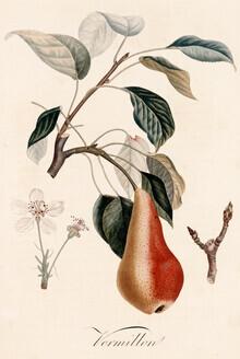 Vintage Nature Graphics, Vintage illustration pears (Germany, Europe)