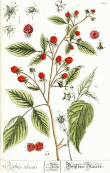 Vintage Nature Graphics, Vintage illustration raspberries 3 (Germany, Europe)