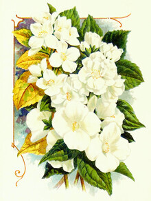 Vintage Nature Graphics, Vintage illustration apple blossom (Germany, Europe)