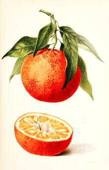 Vintage Nature Graphics, Vintage illustration orange (Germany, Europe)