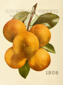 Vintage Nature Graphics, Vintage Illustration Oranges: Glen Saint Mary Nurseries (Germany, Europe)