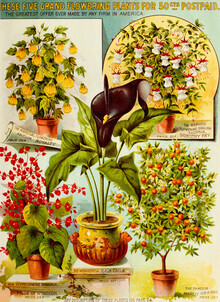 Vintage Nature Graphics, These Five Grand Flowering Plants (Germany, Europe)