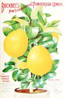 Vintage Nature Graphics, Buckbee's New Everbearing Ponderosa Lemon (Germany, Europe)