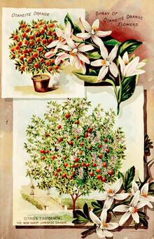 Vintage Nature Graphics, Vintage Illustration Orange Tree (Germany, Europe)