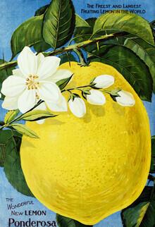 Vintage Nature Graphics, The Wonderful New Lemon Ponderosa (Germany, Europe)