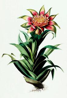 Vintage Nature Graphics, Vintage Illustration Tillandsia 1 (Germany, Europe)