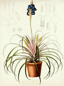 Vintage Nature Graphics, Vintage Illustration Tillandsia 2 (Germany, Europe)