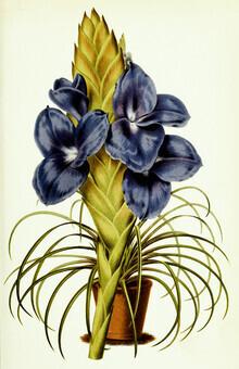 Vintage Nature Graphics, Vintage Illustration Tillandsia 3 (Germany, Europe)