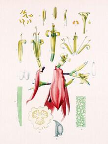 Vintage Nature Graphics, Billbergia Amoena (Germany, Europe)