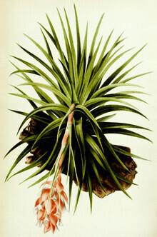 Vintage Nature Graphics, Anoplophytum Strictum (Germany, Europe)