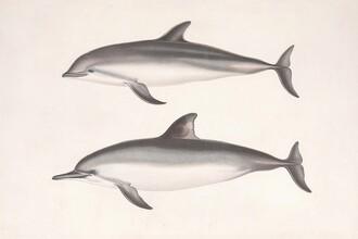 Vintage Nature Graphics, Vintage Illustration Dolphins (Germany, Europe)