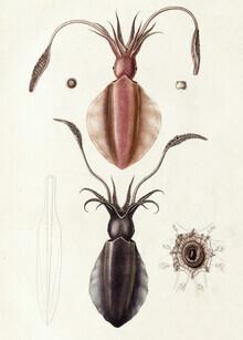 Vintage Nature Graphics, Vintage Illustration Sepioteuthe Austral / Sepioteuthe De Maurice (Deutschland, Europa)