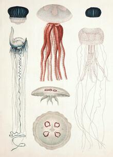 Vintage Nature Graphics, Vintage Illustration von Quallenarten (Deutschland, Europa)