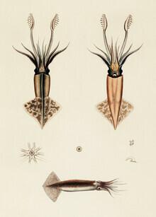 Vintage Nature Graphics, Vintage Illustration Onychoteuthis Rutilus / Onychoteuthis Brevimanus (Germany, Europe)