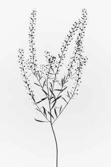 Magda Izzard, Dried Plant I (Großbritannien, Europa)