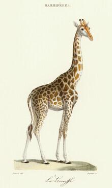 Vintage Nature Graphics, Giraffe - Vintage Illustration (Germany, Europe)