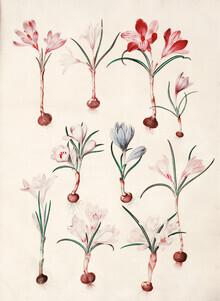 Vintage Nature Graphics, Crocus vernus (vår-krokus) (Germany, Europe)