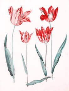Vintage Nature Graphics, Tulipa Gesneriana (Germany, Europe)