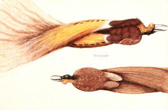 Art Classics, To døde paradisfugle, en han og en hun by Christoph Amberger (Germany, Europe)