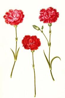 Vintage Nature Graphics, Vintage illustration of Dianthus Caryophyllus (Germany, Europe)