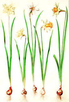 Vintage Nature Graphics, Vintage illustration of daffodils (Germany, Europe)
