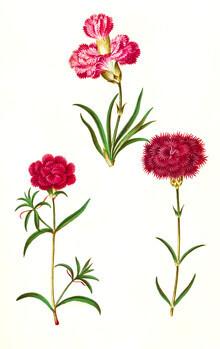 Vintage Nature Graphics, Carnations vintage illustration (Germany, Europe)