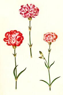 Vintage Nature Graphics, Vintage illustration of red carnations (Germany, Europe)