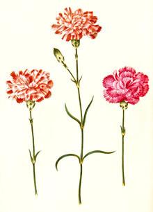 Vintage Nature Graphics, Three carnations, vintage illustration (Germany, Europe)