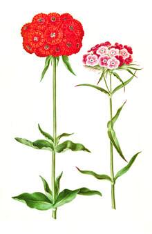 Vintage Nature Graphics, Vintage illustration flowers (Germany, Europe)