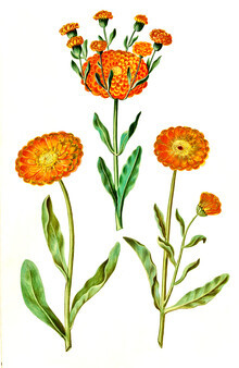 Vintage Nature Graphics, Vintage illustration Calendula (Germany, Europe)