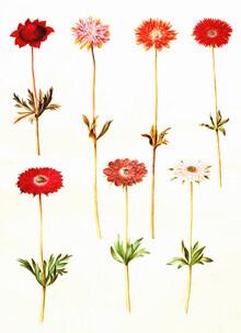 Vintage Nature Graphics, Vintage illustration Anemone coronaria (Germany, Europe)