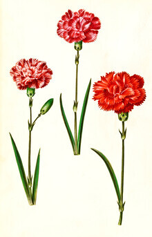 Vintage Nature Graphics, Vintage illustration of carnations (Germany, Europe)