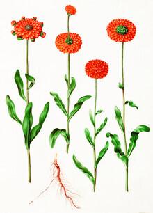 Vintage Nature Graphics, Vintage illustration Calendula officinalis (Germany, Europe)