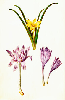Vintage Nature Graphics, Vintage illustration of spring flowers (Germany, Europe)