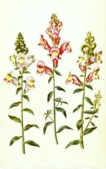 Vintage Nature Graphics, Vintage illustration of Antirrhinum majus (Germany, Europe)