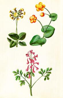 Vintage Nature Graphics, Vintage illustration of various flowers (Germany, Europe)