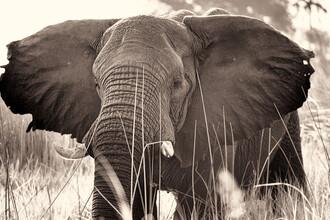 Dennis Wehrmann, Elephant Okavango Delta (Botswana, Africa)